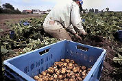 Aardappeldieven op heterdaad betrapt