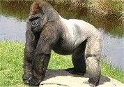 Paniek na dolle gorilla in eethuis