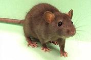 Rattenbeet kost McDonald's geld