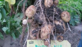 Groei aardappelen loopt achter