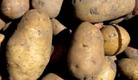 Recordoogst aardappels verwacht