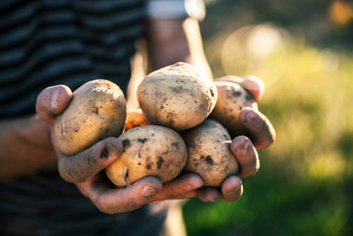 Aardappeloogst weer op gemiddeld niveau