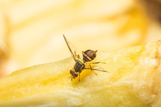 11 tips voor de strijd tegen fruitvliegjes in de cafetaria