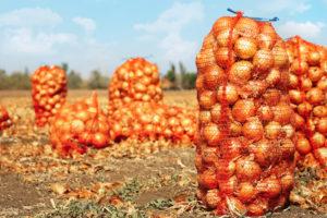 Ook uienoogst valt flink tegen dit jaar